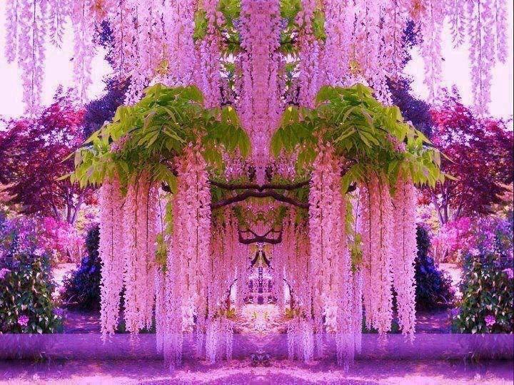 Глициния: выращивание древовидной лианы на садовом участке