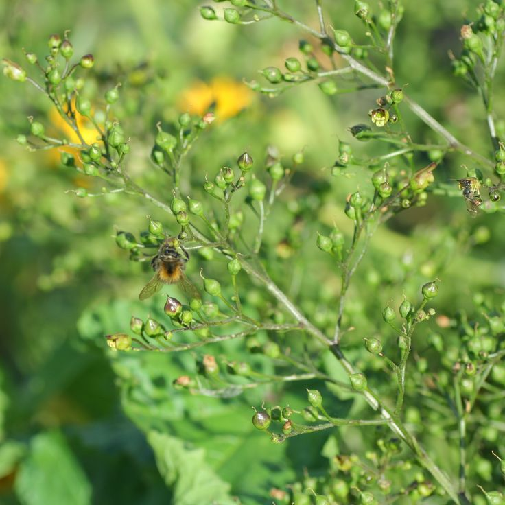 Knopig helmkruid (Scrophularia nodosa). DE: Knotige Braunwurz. EN: Figwort