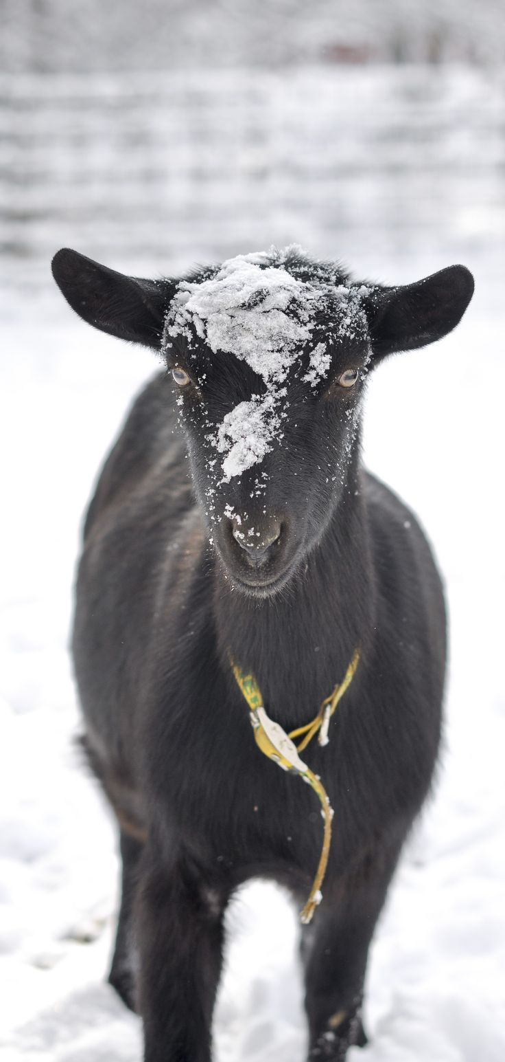 ► Alpine goat Hera. The goats love playing in the fresh snow! Learn more about our goats: http://gmsoap.co/1AiC4qO #goats #winter #snow