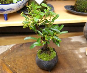 Making and Growing your bonsai - a tutorial for beginners.