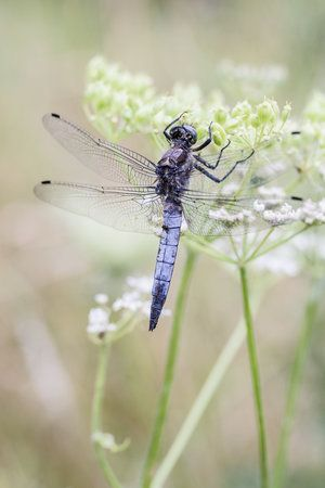 Beautiful blue dragonfly. It is one of my photo objectives to get a capture like this!