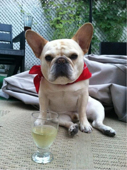 walter french bulldog 17 best images about frenchies on pinterest cute french 7776