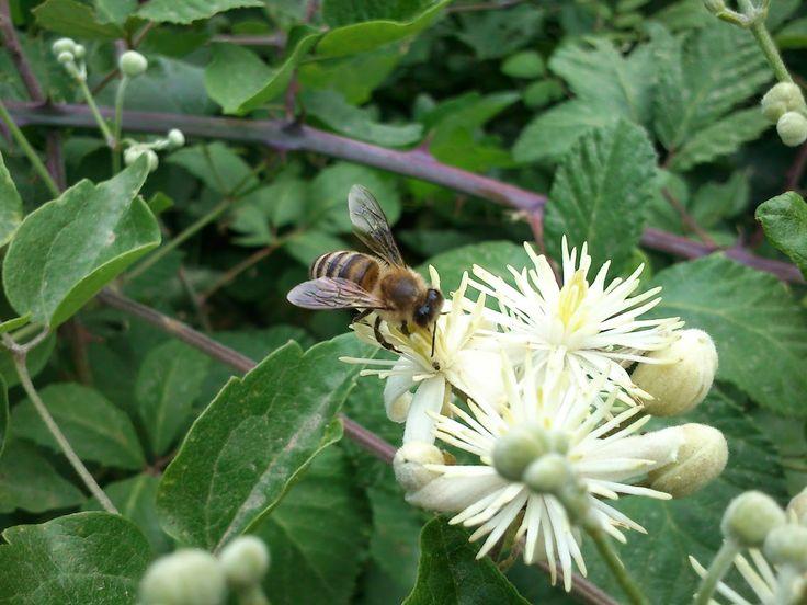 Ορεινή Μέλισσα: Η αγράμπελη και η ατελείωτη καλοκαιρινή της ανθοφορία