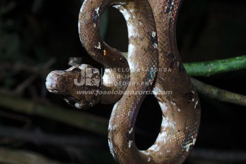Tree Boa Brown Morph 2