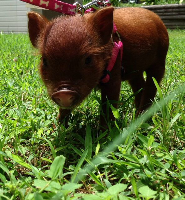 Sassy the teacup potbelly pig working that pretty pink harness
