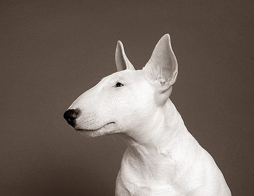 Bull Terrier♥English Bull Terriers, Dreams, Beautiful, Handsome Boys, Pit Bull, Baby Dogs, Bull Terriers Puppies, Dogs Portraits, Animal Dogs
