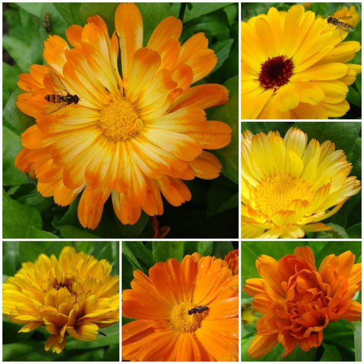 Calendulas :we are all different
