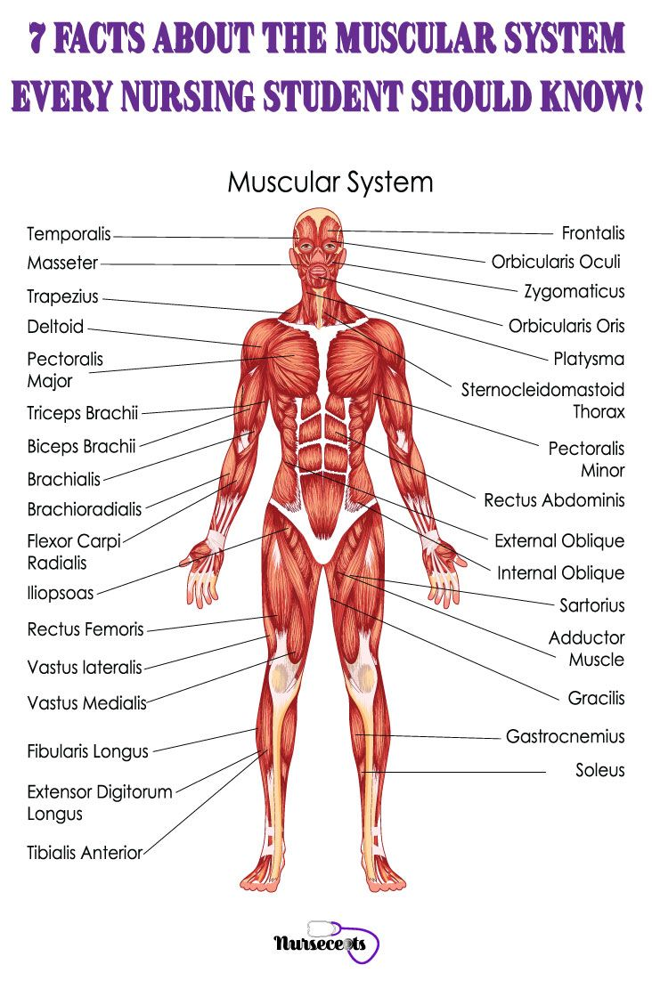 7 Facts About The Muscular System Every Nursing Student Should Know Human Muscular System Human Muscle Anatomy Muscular System Anatomy