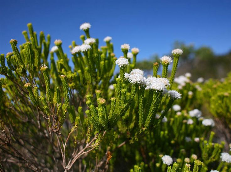 The neon-green foliage of another buchu, Agathosma collina is much easier to see - it's dominant on the dune fynbos in this part of the Overberg, and in full flower at the moment.