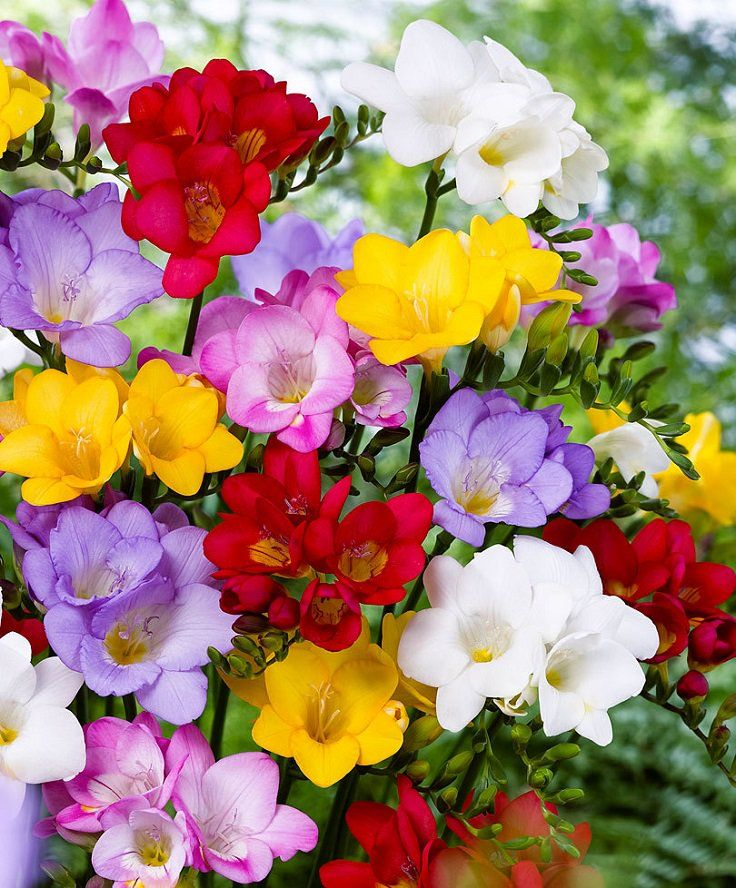 Top 10 Of The Most Fragrant Flowers In The World Top Inspired Freesia Flowers Bulb Flowers Fragrant Flowers