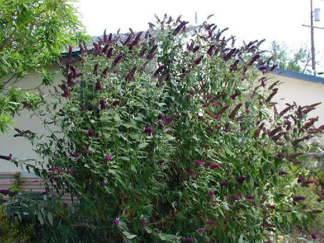 Buddleja davidii Black Knight Butterfly Bush The