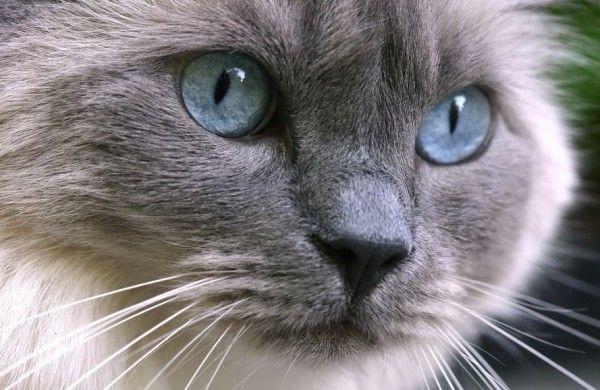 Ragdoll-Katze: Sanfter Riese mit blauen Augen