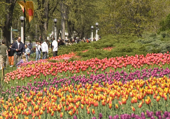 Tulip Festival - Ottawa, Ontario