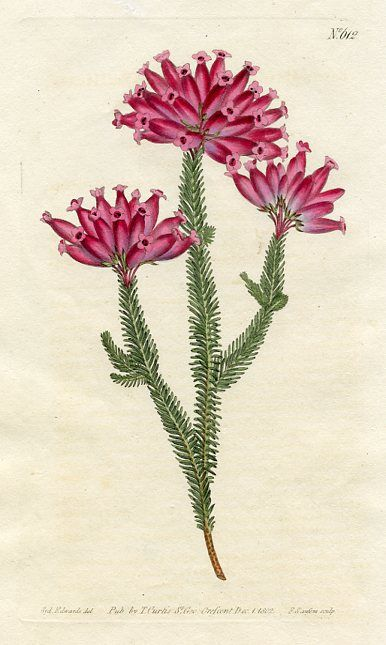 Nine-pin Heath (Erica metulaeflora)   Curtis's Botanical Magazine (England , 1802)