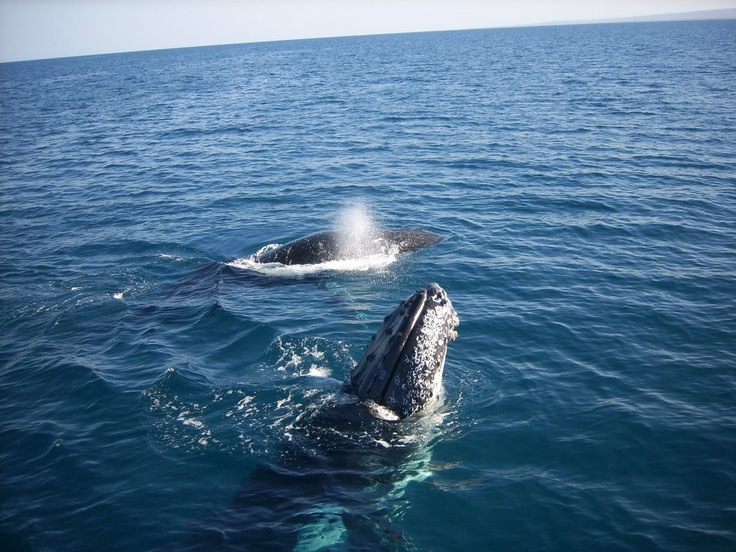 Humpback whales breeching off Ningaloo Reef National Park...