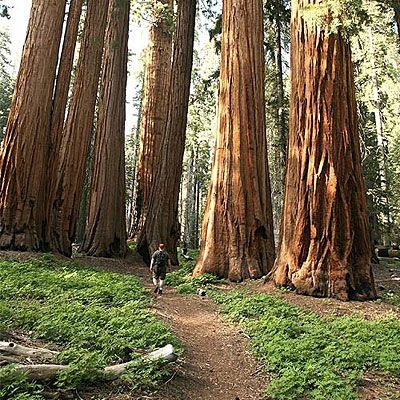 Mariposa Grove of Giant Sequoias    Hike among more than 500 massive sequoias at Mariposa Grove in Wawana, near Yosemite's South Entrance.