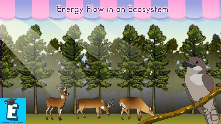 Energy flow in an ecosystem by Educational Program For Kids