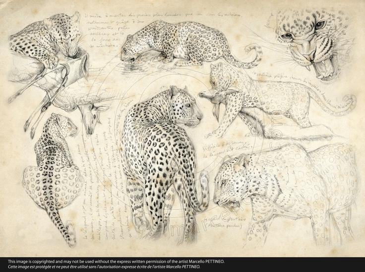 Illustration - Léopard - Dessin - Crayon
