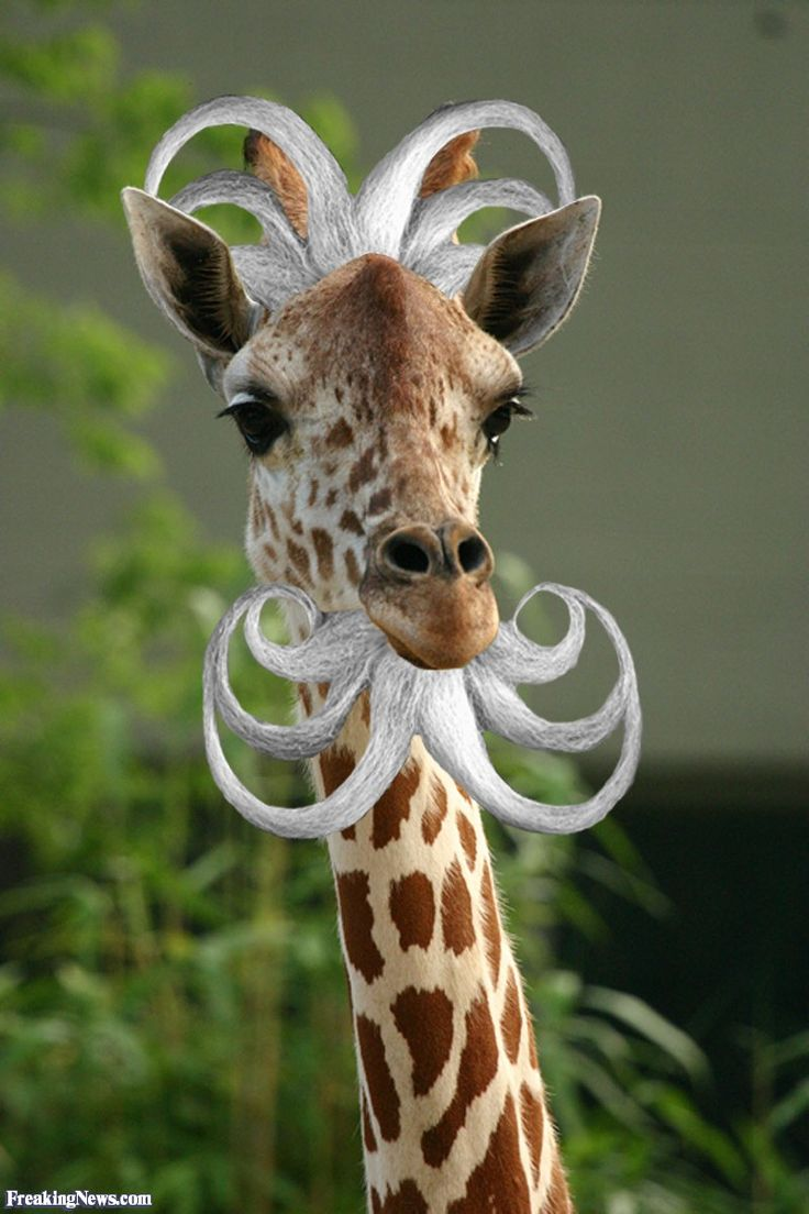 Last thing I remember.....  Funny Giraffe - Bing Images