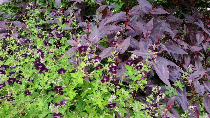 Massif mi-ombragé du jardin : Geranium 'Raven' et Persicaria 'Red Dragon'