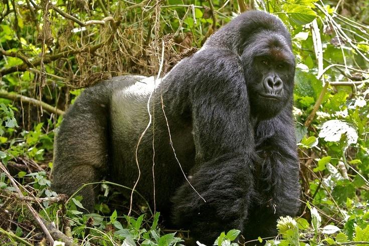 Silverback Gorilla, Virunga National Park, DRC