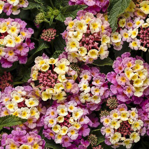 Luscious® Pinkberry Blend - Lantana camara