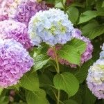 Have you ever seen a hydrangea plant in full bloom? They are one of the most beautiful garden plants you'll ever see. But what happens when there are no blooms on hydrangea, and why? Read this article to find out.