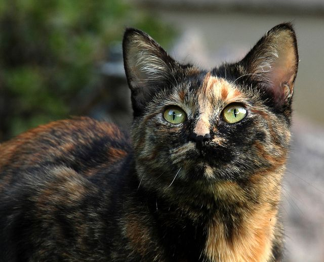 173 best images about Cats-For Holly, our tortoiseshell ...