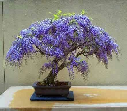 Japanese bonzai tree