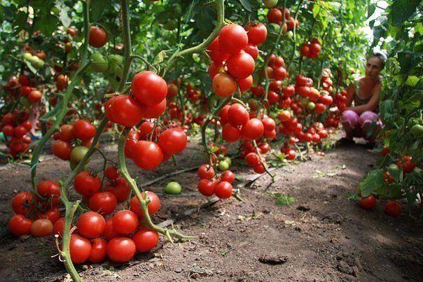ИсточникHome garden|Сад, огород, дача Кефир – защитник томатовРедкий садовод может похвастаться, что не знаком с фитофторозом. Грибное заболевание первоначально появляется на листьях картофеля, зате…