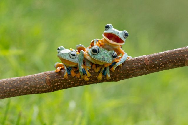 This green-skinned trio were happy to pose for the camera – with one little frog smiling happily for its close up. The three Reinwardt's Flying Frog, commonly known as the black webbed tree frog or the green flying frog, were spotted playing in a tree by photographer Hendy Mp. (Photo by Hendy Mp/SOLENT News)