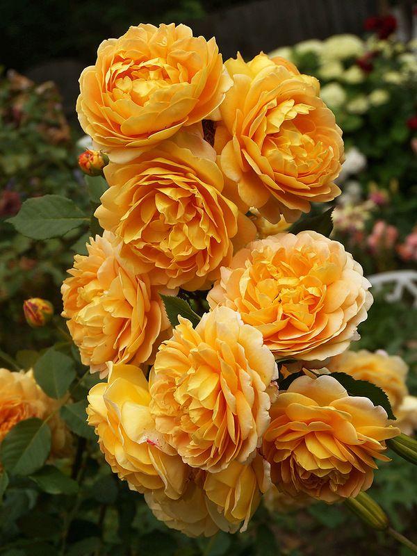 'Golden Celebration' | Shrub. English Rose Collection. Austin 1992 | © Oliver