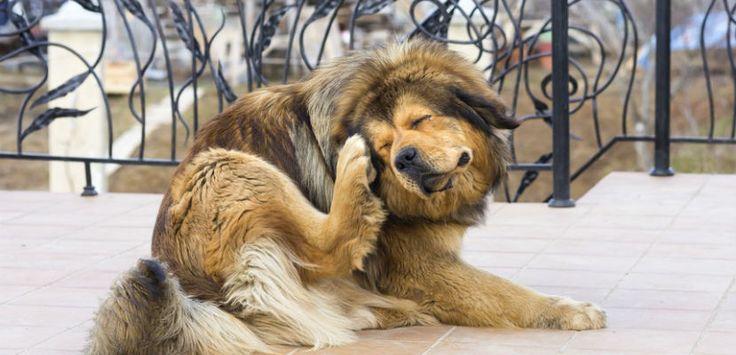 Caspa en el perro: ¿qué significa?