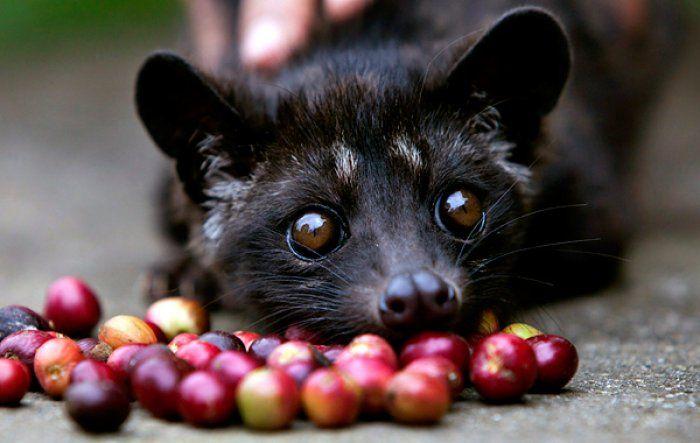 #Food e #animali: #KopiLuwak sfrutta gli #zibetti per produrre #caffè