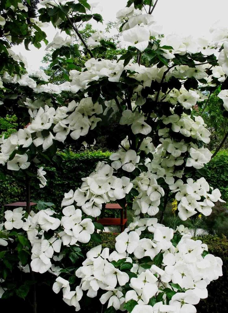 668 best deciduous delights images on pinterest shrubs plants and rare plants. Black Bedroom Furniture Sets. Home Design Ideas