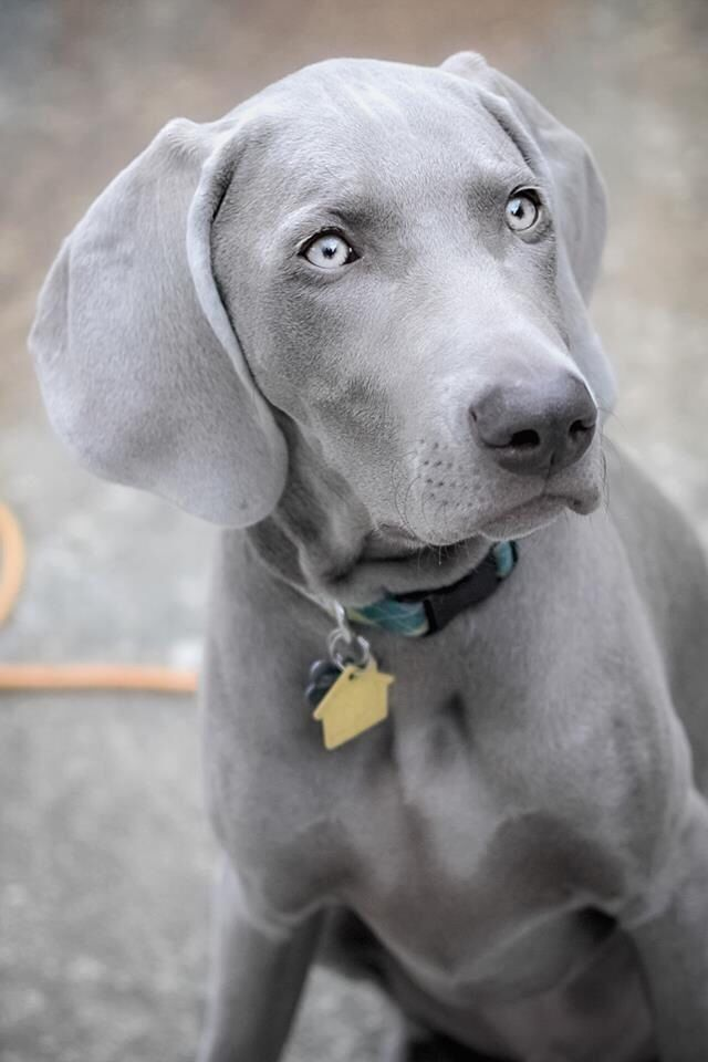 Weimaraner...I am in love with this breed! Stunning!