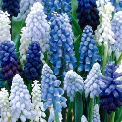 Assorted grape hyacinth. Planting these this fall