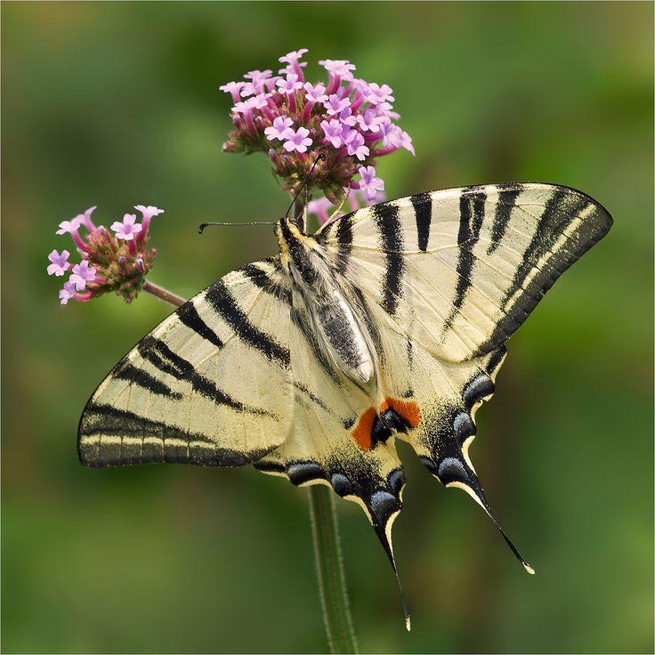 Scarce Swallowtail (Koningspage)