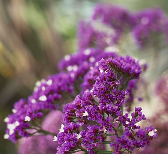 A favorite in dried flower arrangements, sea lavender, or statice, sends out foot-long clumps and spraying clusters of purple and white flowers all summer long. Plant Name: Limonium latifolium Growing Conditions: Full sun and well-drained soil Size: To 1 foot tall and wide Grow it with: Choose a foliage accent, such as the silvery gray, thin-leafed dusty miller. Zones: 4-9/