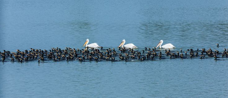 fishing fleet    Pelicans and Cormorants go fishing together.    #macedonianplaces , #scenery : #kerkini #Lake in #Macedonia , northern #Greece #photo #naturephotography #nature