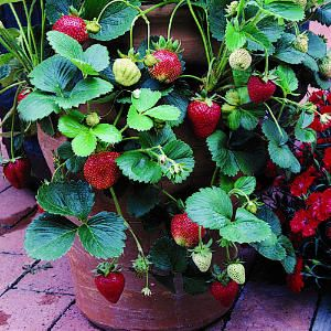 Grow strawberries in containers or pots to save space. You can also grow them in hanging baskets. Just ensure that you keep your plant moist and it receives adequate sunlight and you can enjoy its fruit throughout the summer season.