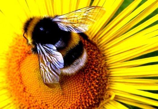 Bumblebee pictures (16)