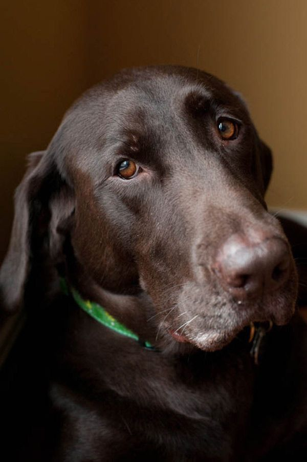 17 best images about labrador retrievers on pinterest