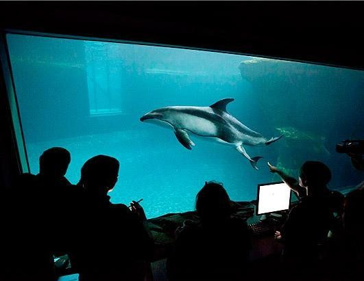 """Staff at the Shedd Aquarium in Chicago watch as Tique, a Pacific dolphin, gives birth. Tique (pronounced Tee-kay), who weighs 200 pounds, had been shipped to Miami's Seaquarium last year to breed with a male dolphin there.""Male Dolphins, Dahli Sea, Chicago Shedd, Miami Seaquarium, Chicago Watches, Photos Baby, Baby Animals, Baby Dolphins, Shedd Aquariums"