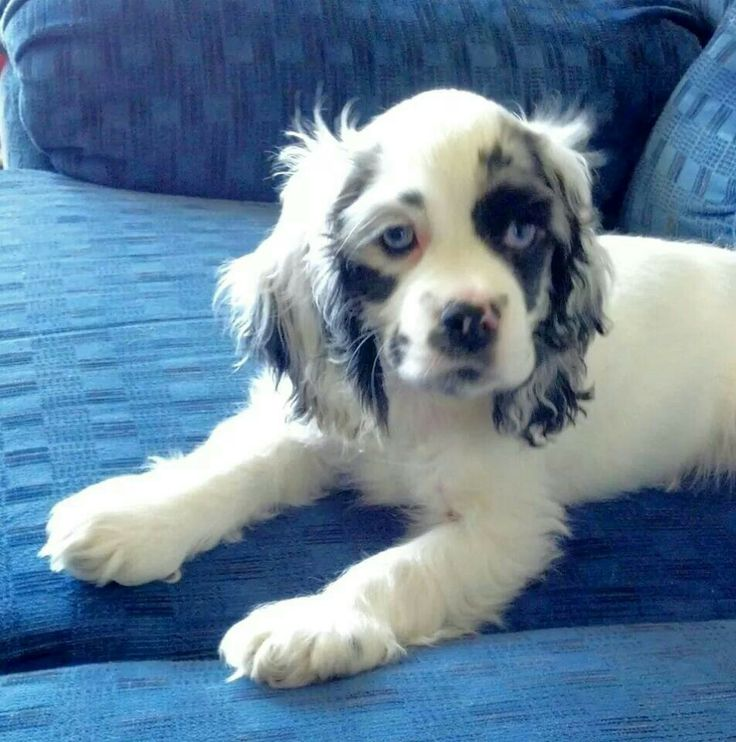 Merle cocker spaniel with blue eyes...my dog Murphy