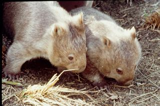 Click here for information about this Australian Wombats photo. You can buy handmade greeting cards featuring this photo for $4.50 delivered. www.theshortcollection.com.au/Australian-Animals