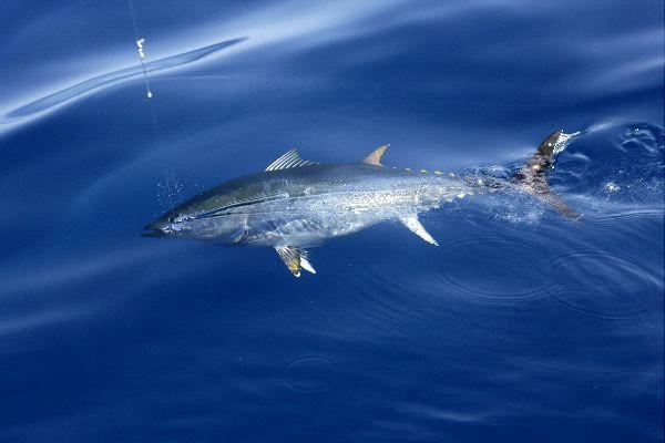 Atlantic Bluefin Tuna – Thunnus thynnus