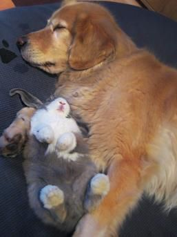 Golden Retriever Willie (10 years) and Bunny Flower (6 month) taking their nap.