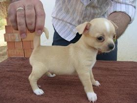 Funny Picture Clip: Funny pictures: Mini chihuahua- chihuahua mini toy, teacup chihuahua