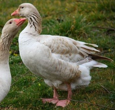14 best images about Free Range Geese & Ducks on Pinterest ...